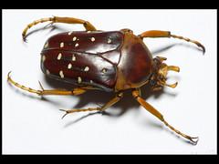 Jewels-13 (Mashku) Tags: nature beetle insects beetles coleoptera scarabeidae cetoniidae cetoniini cetoniine