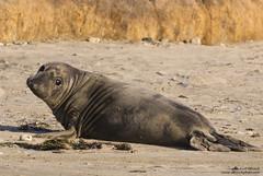 Elephant Seal -weaner (Bob Stronck) Tags: california sanmateocounty pinniped anonuevostatepark miroungaangustirostris northernelephantseal sanmateococoast ©rmstronck stronckphotocom