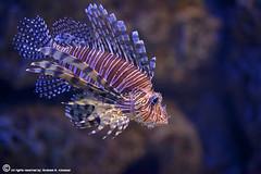The Lion Fish (ibrahem N. ALNassar) Tags: fish macro ex canon eos mark lion n sigma os ii 5d kuwait f28 dg the 105mm ابراهيم البحر الكويت كويت سمك hsm alnassar اسد ibrahem النصار نصار