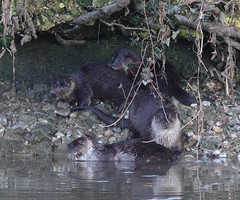 Otter Family Portrait (Yogibear44) Tags: blandford riverstour otterfamily