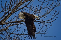 Bald Eagle Acrobatics (Tiger Imagery) Tags: nature illinois nikon eagle raptor eagles raptors birdsofprey baldeagles baldies largebirds amercianbaldeagles nikond7000