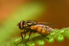 Mosca. (Carlosfk) Tags: macro closeup mosquito mosca varejeira