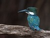 Amazon Kingfisher (Chloroceryle amazona) male (PeterQQ2009) Tags: brazil birds pantanal amazonkingfisher chloroceryleamazona peregrino27life
