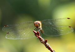 a Dragonfly resting on a Stem (Spice  Trying to Catch Up!) Tags: color japan canon insect geotagged eos photo wings stem asia flickr dragonfly  tutubi       tochigiken utsonomiya    panoramafotogrfico gettyimagesjapan12q1