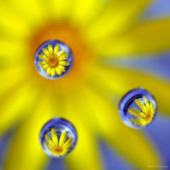 Drop Flower (Steve Corey) Tags: water drops refraction flowerart miniflower funprojects flowerreflection flowerdrops waterrefraction waterdropflower flowerrefraction daiseyreflection