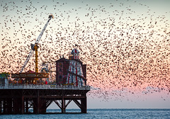 Starling Murmuration, Brighton Pier (Alan MacKenzie) Tags: england nature birds sussex brighton wildlife flight starlings brightonpier starlingmurmuration