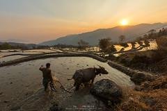 Life in Yuanyang, China (Noom HH) Tags: life china travel light nature sunrise buffalo terraces ricefields tiller yuanyang traveldestinations