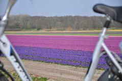 Hollands Glorie (frits de vink) Tags: spring fiets noordholland paars voorjaar bollenveld klassiek batavus