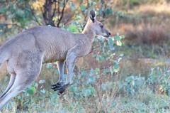 See ya (jezza323) Tags: morning backlight sunrise pentax sigma lodge kangaroo qld queensland environment backlit roo k5 70200mm 200mm girraween ballandean hsm sigma70200mm girraweenenvironmentallodge k5ii pentaxk5ii sigma70200mmapoexdghsmii environmentallodge