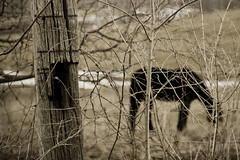 It is good people who make good places. (TW Collins) Tags: cambridge horse newyork black fence upstate pasture barbedwire grazing fencepost weatherd washingtoncounty
