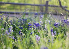 93.365 Blue Bonnets (Sabrina Rohwer Photography) Tags: flowers blue nature field project colorful pretty day purple bokeh 365 60mm bonnet