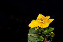 Caltha Palustris (David Canon) Tags: pond marshmarigold kingcup calthapalustrisauengold