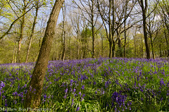 Bluebell wood (boamatthew) Tags: wood uk nature bluebells spring nikon tokina f28 troughofbowland 1116mm d7000
