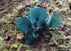 Chlorociboria sp. (F.J.De Jesus) Tags: azul fungi cogumelo salespolis chlorociboria orelhadoshrek