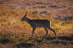 Olav, the petite (nemi1968) Tags: autumn fall field animal norway canon october bokeh outdoor deer autumncolours hst olav markiii deerfamily deercalf specanimal canon5dmarkiii ef70200mmf28lisiiusm