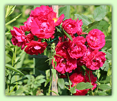 Roses Are Red My Love... (bigbrowneyez) Tags: wood pink flowers red roses summer ontario canada beautiful rose ruffles petals amazing fantastic bright sweet bokeh gorgeous ottawa blossoms sunny fresh special dolce stunning belle romantic stick bouquet fiori fabulous delicate striking bello rosse bellissime countrycharm myfrontgarden miogiardino rosesareredmylove