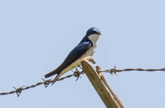 7K8A8831 (rpealit) Tags: tree bird nature scenery wildlife area swallow hatchery pequest