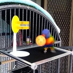 Boochie the #lorikeet playing 3x slamdunks... (jen_journal) Tags: bird video lorikeet playful clever iphoneography iphonesia instadaily instagramhub igersaustralia uploaded:by=flickstagram instagram:photo=8041410821131271271047475
