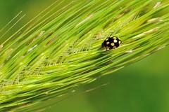 Propylea quatuordecimpunctata (luporosso) Tags: naturaleza macro nature closeup insect nikon natura ladybug insetto insetti coccinella spiga naturalmente nikond300s