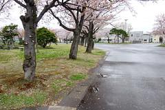 Rain made sakura fall () Tags: zeiss t sony cybershot carl variosonnar rx100 f1849 dscrx100 104371mm