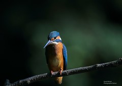Martin Pêcheur (David Michel photographie Nature) Tags: nature rivière oiseaux plume martinpêcheurdeurope flèchebleue