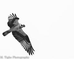 Osprey (Matt Tighe) Tags: wild sky blackandwhite bird nature monochrome birds nikon wildlife monochromatic raptor prey osprey lightroom d3100 nikond3100