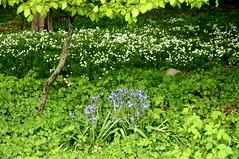 Atlantisches Hasenglckchen (Hyacinthoides non-scripta) vor Blten der Groen Sternmiere (Stellaria holostea); Bergenhusen, Stapelholm (16) (Chironius) Tags: flower fleur germany deutschland blossom flor alemania grn blau  fiore blte allemagne germania schleswigholstein blten ogie pomie weis   niemcy asparagales asparagaceae  bergenhusen   stapelholm pomienie spargelgewchse szlezwigholsztyn scilloideae