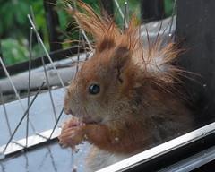 """bei dem Wetter stehen mir die Haare zu Berge (flixx-ak) Tags: germany deutschland squirrel eichhörnchen 2016 r0019722 flixxakoffenbachammainhessen """"anvormeinemfenster"""" nachwuchs2016"""