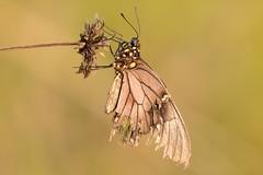 Natureza morta... Dead nature... (Jose Vasconcelos Neto) Tags: nature dead natureza flor borboleta morta