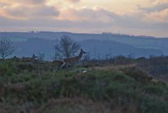 follow me deer... (devonteg) Tags: november wild nikon heather pines beech reddeer birches eveninglight youngsters exmoor gorse 70300 hinds 2011 d80 haddonhill