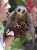 PEREGINE FALCON - ANGRY BIRD