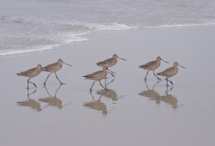 When the saints go marching in... {Original} (Lightspectral | off) Tags: bird beach birds walking sand surf marching instep wwwpoetryoflightnet copyright2013 mariaismanahschulzevorberg koenigswintergermany