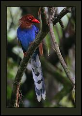 Sri Lanka Blue Magpie (Urocissa ornata) (Rainbirder) Tags: srilanka sinharaja urocissaornata rainbirder srilankanmagpie srilankanbluemagpie