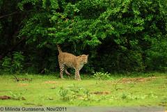 MNG_0114-2 (M i l i n d a) Tags: cat wildlife safari leopard bigcat srilanka yala panthera yalanationalpark pantheraparduskotiya kotiya ruhununationalpark