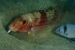 Mullus surmuletus / Diplodus vulgaris (Joao Pedro Silva) Tags: red fish sesimbra commensalism mullussurmuletus diplodusvulgaris prnppparrabida jardimdasgorgnias
