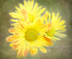 Three Happy Faces (NaturalPhotographySpa) Tags: lensbaby mums happyfaces sunshinesmile texturedbackground yellowongreen lensbabycomposer novemberchrysanthemums texturebyeddievanw breathesmile