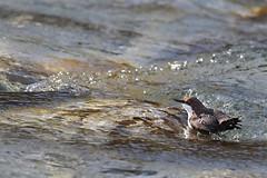 Cinclus cinclus (Ivan Chiandetti) Tags: uccelli friuli cincluscinclus whitethroateddipper merloacquaiolo natuira