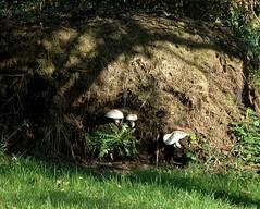 Nicht alles (niedersachsenfoto) Tags: mist pilze oldenburg kleingarten kompost komposthaufen haufen niedersachsenfoto