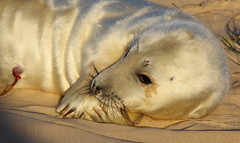 Contemplating one's navel (trickydicky1964) Tags: autumn nature closeup point grey coast sand wildlife dunes north norfolk seal seals british pup mammals blakeney 2011 halichoerus grypus canon450d sigma150500mmf563dgoshsm trickydicky1964