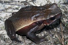 Bufo guttatus (Smooth-sided Toad) (Kenny Wray) Tags: nature wildlife amphibian guyana frog toad kenny herp herps bufo wray guttatus anura amphibia bufonidae fieldherping herping smoothsidedtoad rhaebo smoothsided bufoguttatus imbaimadai kennywray partangriver
