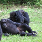 "Chimp Relaxing <a style=""margin-left:10px; font-size:0.8em;"" href=""http://www.flickr.com/photos/14315427@N00/6505513801/"" target=""_blank"">@flickr</a>"