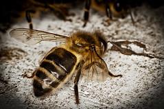 A386-Hembra diligente, de reposo (Eduardo Arias Rbanos) Tags: macro animal sex fauna nude insect nikon leg wing bee sexo alas abeja pata desnudo insecto macrophotography d300 macrofotografa eduardoarias eduardoariasrbanos