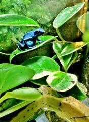 Dendrobates azureus (Madfishceramics) Tags: color nature animal amphibian frog azureus dart dendrobates iphone4s