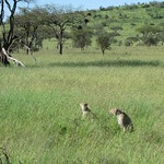 "Cheetahs <a style=""margin-left:10px; font-size:0.8em;"" href=""http://www.flickr.com/photos/14315427@N00/6599720555/"" target=""_blank"">@flickr</a>"