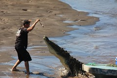feeding the croc (gruntpig) Tags: big dangerous feeding reptile large killer crocodile croc feed mad daredevil carnivore nutter barmy teethe