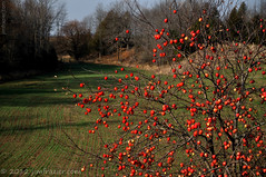 Outlaw Apples (or is it a Persimmon Tree?) (Jim Frazier) Tags: november autumn trees red plants tree fall nature fruits field fruit wisconsin rural forest woodland landscape woods flora nikon scenery alone many farm country farming scenic sunny bluesky abundant valley apples produce roadside agriculture pastoral wi abundance pods q3 agricultural lonetree bucolic orchards woodlot tworivers 2011 d90 kewaunee kewauneecounty capturenx nikoncapturenx ldjanuary ©jimfraziercom 20111124doorcounty fruitseedpods ld2012 wmembed