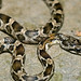 Young Western Rat Snake