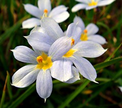 Pale Blue-eyed Grass (CameliaTWU) Tags: lightblue sisyrinchium blueeyedgrass monocot angustifolium tepals