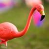 Day 11|366 - Can A Flamingo Be Sad? ... btw, HBW! (∞ RedLoop ∞) Tags: pink color nikon sad bokeh flamingo lawn dew tear catchy project366 d7000 ∞redloop∞ theateamrallyingforaurelia