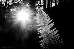 (JSB PHOTOGRAPHS) Tags: light bw sun fern rays burst dscn2565